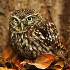 Little Owl (Athene noctua) by Norfolkimages