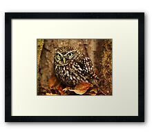 Little Owl (Athene noctua) Framed Print
