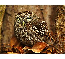 Little Owl (Athene noctua) Photographic Print