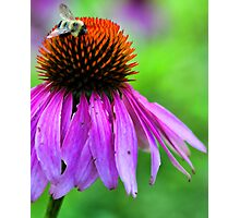Red Coneflower - Bumble-Bee Photographic Print