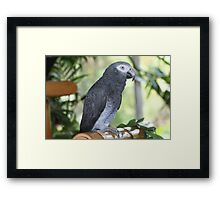 African Grey, Kimba Framed Print