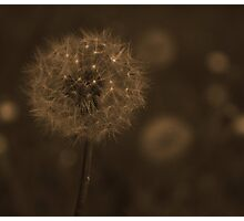Dandelion Clocks in Bluebell Woods - Sepia Photographic Print