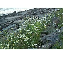 Daisies by the lake Photographic Print