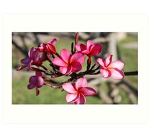 Plumeria Flower's Maui. Hawaii Art Print