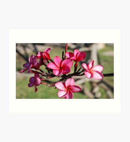 Plumeria Flower's Maui. Hawaii Art Print