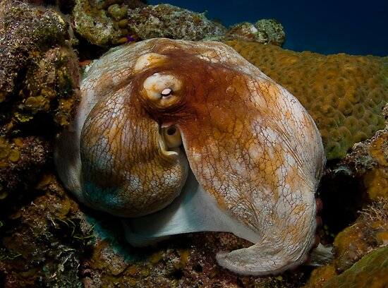 Common Octopus by Todd Krebs