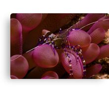Spotted Cleaner Shrimp on Purple Anemone Canvas Print