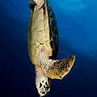 Hawksbill Freedive by Todd Krebs
