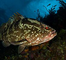Nassau Grouper by Todd Krebs