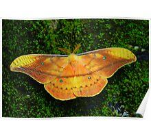 Giant Silk Moth (Copaxa syntheratoides) - Costa Rica Poster