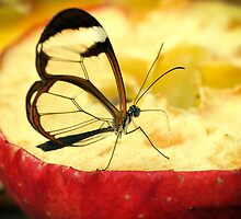 Glass wing butterfly - Greta oto by Shehan Fernando