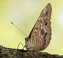 Texas Hackberry Emperor by Penny Odom