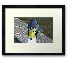 Quack Quack!! - Mallard Duck - invercargill - New Zealand Framed Print