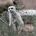 Meerkat by Ian Lea