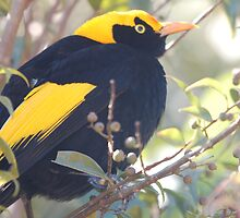 Male Regent Bowerbird by Melissa  Whitby