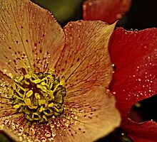 """The Joy of Hellebore ..."" by Rosehaven"