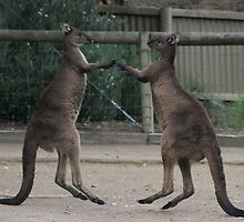 Who say's kangaroo's cant' fly... and dance by wilsonsz