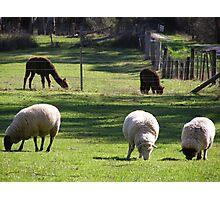 farms animals Photographic Print