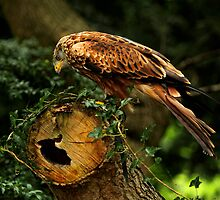 Red Kite (Milvus milvus) Roosting 2 by Norfolkimages