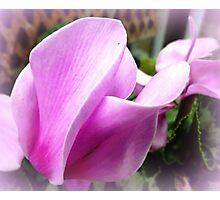 Cyclamen Petals Photographic Print