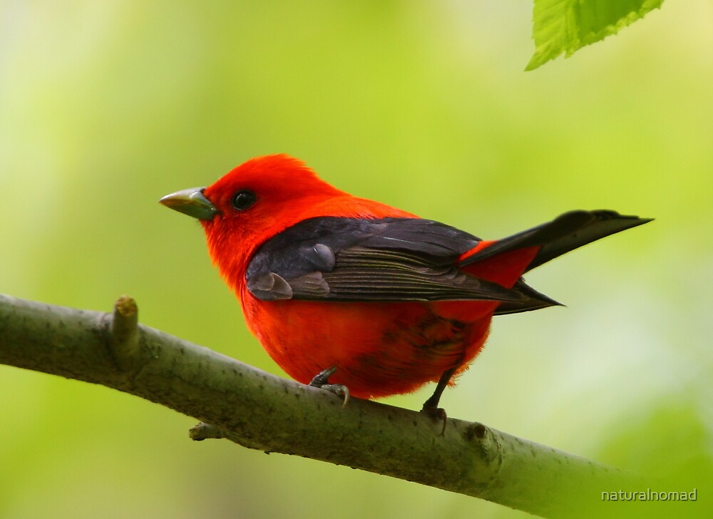 Scarlet Tanager by naturalnomad