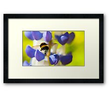 Bumble Bee on Lupin Framed Print
