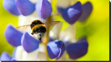 Bumble Bee on Lupin by Thomas Tolkien