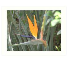 Strelitzia - Crane Flower Art Print