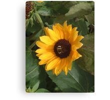 Bumble bee on sunflower Canvas Print