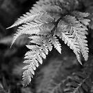 Athyrium Niponicum Var Pictum by Lindamell