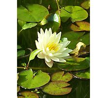 Yellow Water Lilly Photographic Print
