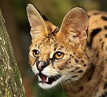 Serval Portrait by Norfolkimages