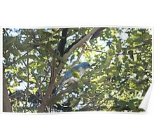Gray Chested Jay Poster