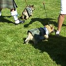 Scotties in Kilts! by JenLand