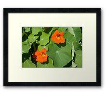 Nasturium Flowers in Summertime Framed Print