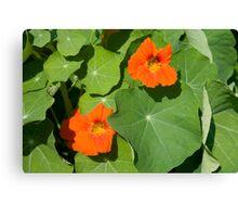 Nasturium Flowers in Summertime Canvas Print