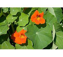 Nasturium Flowers in Summertime Photographic Print