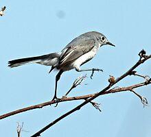 Female Blue Grey Gnatcatcher by bobgotro