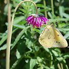 Cloudless Sulphur Butterfly by Michele Markley