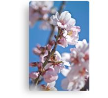 Almond Bloom Canvas Print