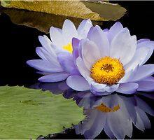 Water Lily by bettywiley