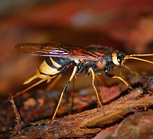 Urocerus gigas, Giant Wood Wasp. by Tony Reed