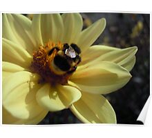 Mr Bumblebee's Flower Poster
