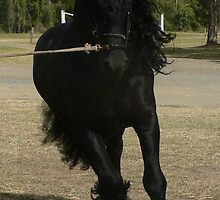 Friesian Pride by louisegreen