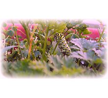 The Swallowtail Caterpillar Eating Photographic Print