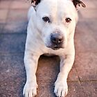 Sam the homeless Staffy by ruthlessphotos