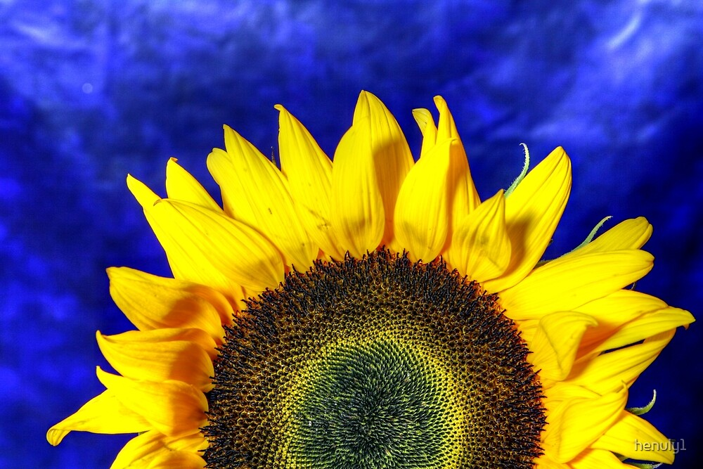 sunflower2 by henuly1