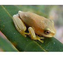 cute little froglet Photographic Print