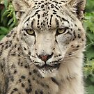 Snow Leopard 2 by Norfolkimages