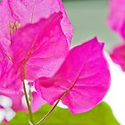 Bougainvillea by Thomas Tolkien